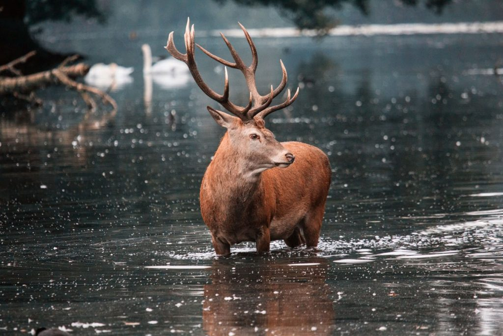 Red Deer - cover