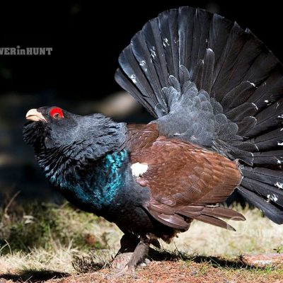 Capercaillie - cover